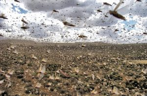 Invasione di cavallette nel Madagascar