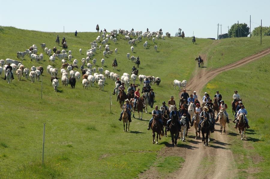 Riparte la transumanza dei Colantuono: 300 bovini dalla Puglia al Molise