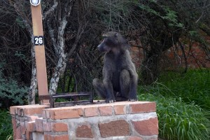 Baboon sitting on the outdoor grill at the campsite.