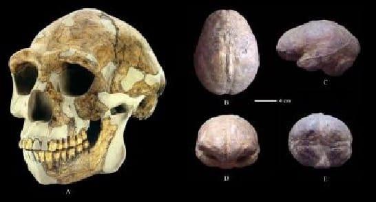 修復された 北京原人 の頭蓋骨(A)頭蓋内モード(B:上面; C:左側面; D:前方; E:後部)