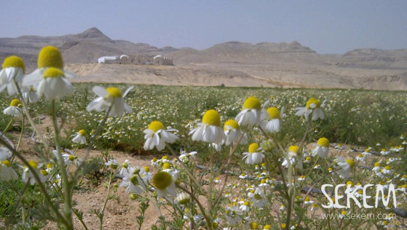 Chamomile field in the desert