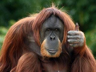 Orangutanın Kahkaha Krizi