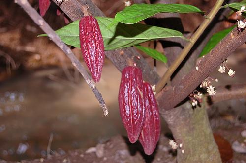 Drzewo kakaowca z owocami i kwiatami