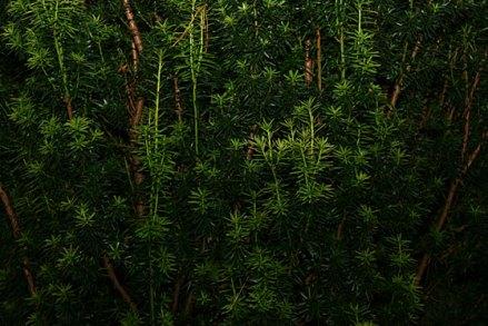 Conifer-Dream-23