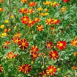 Marigold seeds 2020