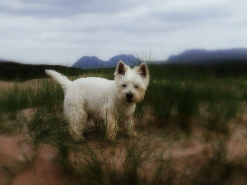 westie enjoying views of area at Achiltibuie