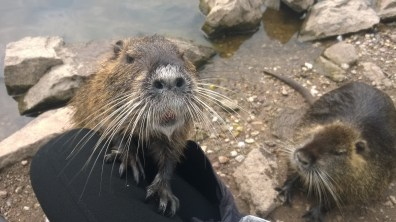 Coypus at the confluence of the River Labe and Orlice