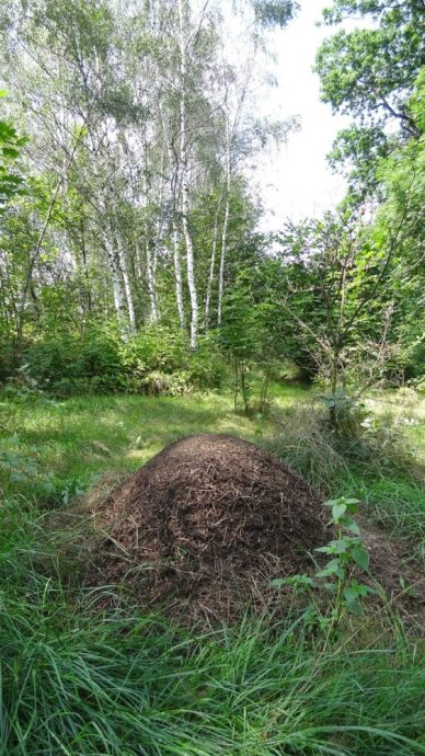 Anthill near Slezská Harta