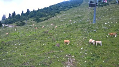 Grazing cows in Gemeindealpe