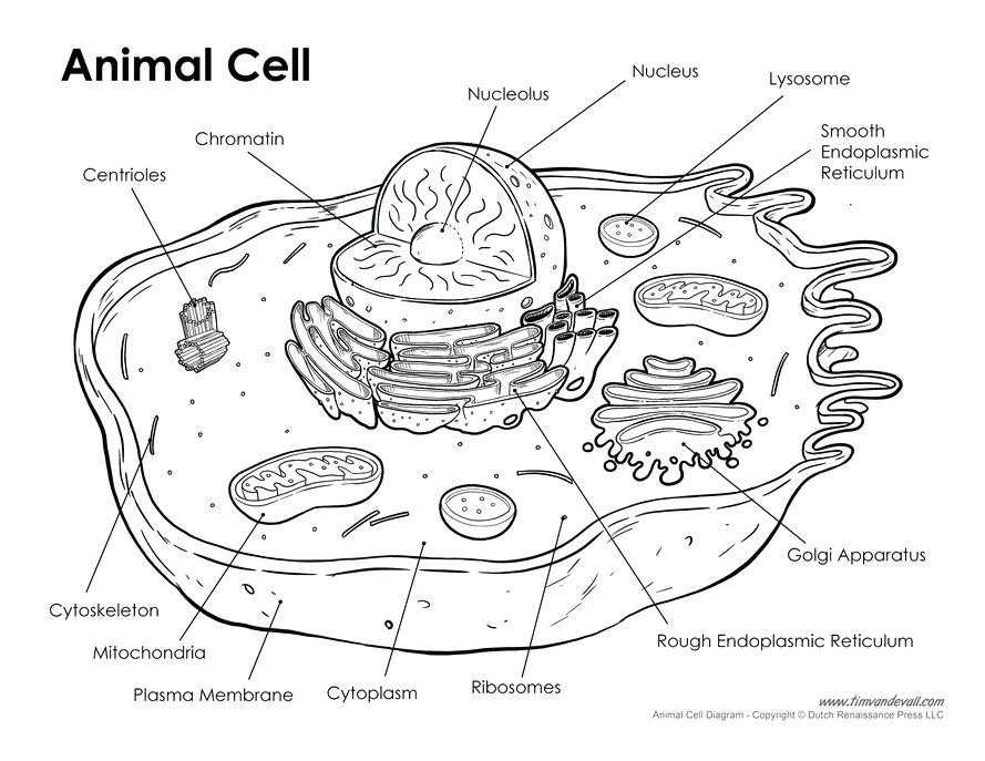 Animal and Plant Cells Worksheet Answers together with Animal Cell Coloring Page Awesome Unlabeled Plant and Animal Cell