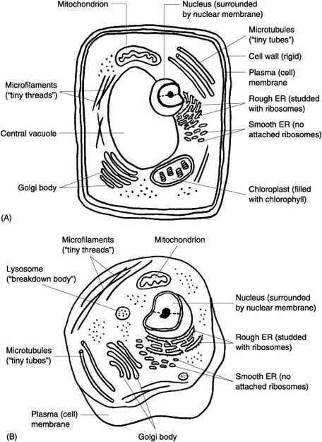 Animal Cell Coloring Worksheet Answers as Well as 147 Best Ag Biology Cells Viruses & organelles Images On