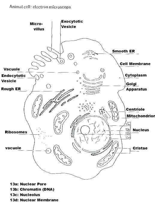 Animal Cell Coloring Worksheet Answers or 12 Awesome Animal Cell Coloring Page Answers Image