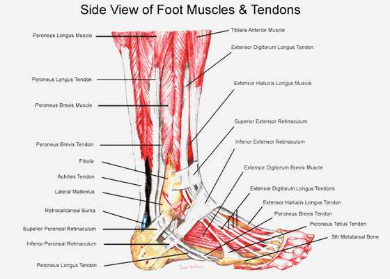 Ankle Brachial Index Worksheet Along with Foot and Ankle Anatomy Google Search Pedorthics