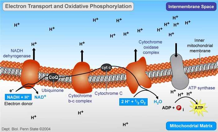 Biochemistry Macromolecules Pogil Worksheet with Oxidative Phosphorylation Electron Transport and atp Synthesis