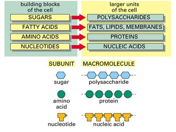 Biomolecules Concept Map Worksheet and Simple Diagram Of Macromolecules Proteins Carbohydrates Lipids