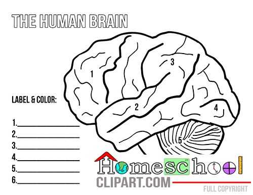 Brain Coloring Worksheet together with 116 Best Homeschool Human Anatomy and Physiology Images On
