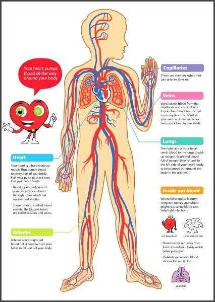 Cardiovascular System Worksheet Answers Also Circulatory System Worksheet – Bitsandpixelsfo