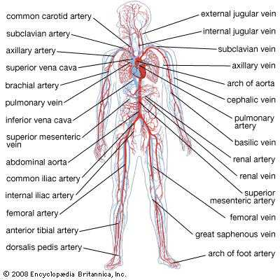 Cardiovascular System Worksheet Answers and Circulatory System the Vertebrate Circulatory System