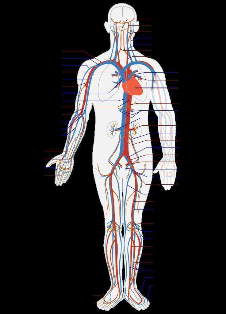 Cardiovascular System Worksheet Answers as Well as Beste Circulatory System Anatomy and Physiology Ideen Menschliche