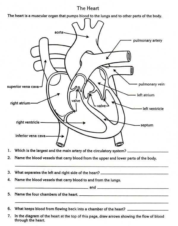 Cardiovascular System Worksheet Answers as Well as Free Parts Of the Heart Worksheets