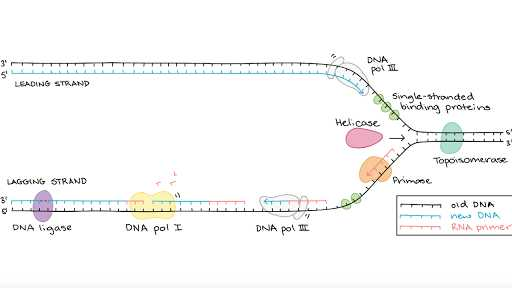 Cell Cycle and Dna Replication Practice Worksheet Key as Well as Molecular Mechanism Of Dna Replication Article
