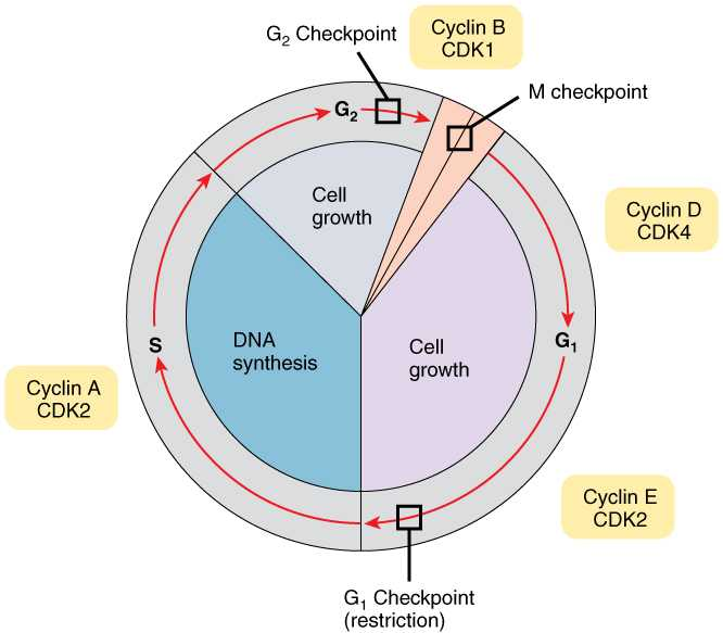 Cell Cycle and Dna Replication Practice Worksheet Key or 3 5 Cell Growth and Division – Anatomy and Physiology