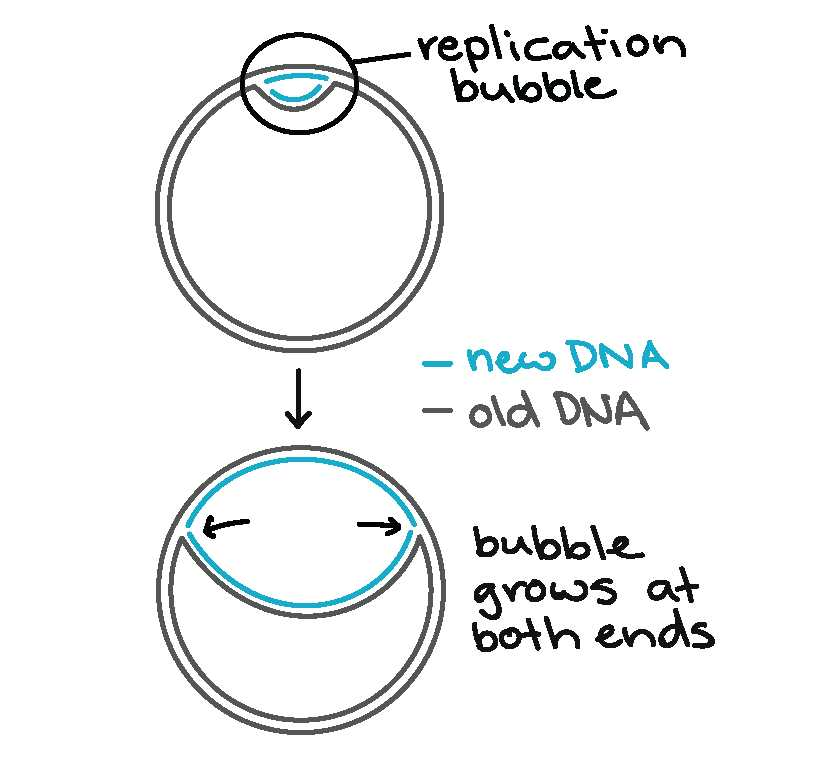 Cell Cycle and Dna Replication Practice Worksheet Key with Molecular Mechanism Of Dna Replication Article