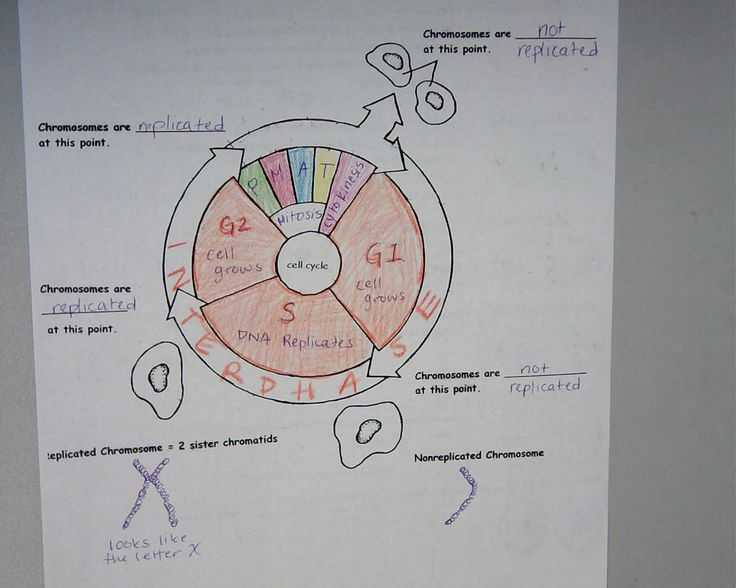 Cell Cycle and Mitosis Worksheet Answer Key as Well as 110 Best Cells Mitosis Images On Pinterest