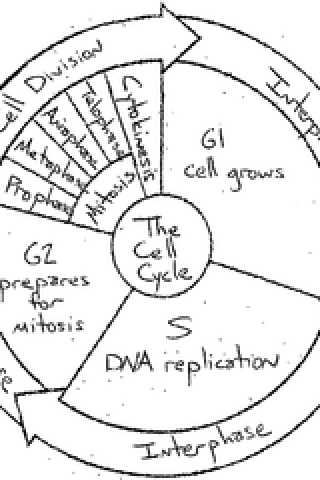 Cell Cycle Coloring Worksheet as Well as the Cell Cycle Coloring Worksheet Key the Best Worksheets Image