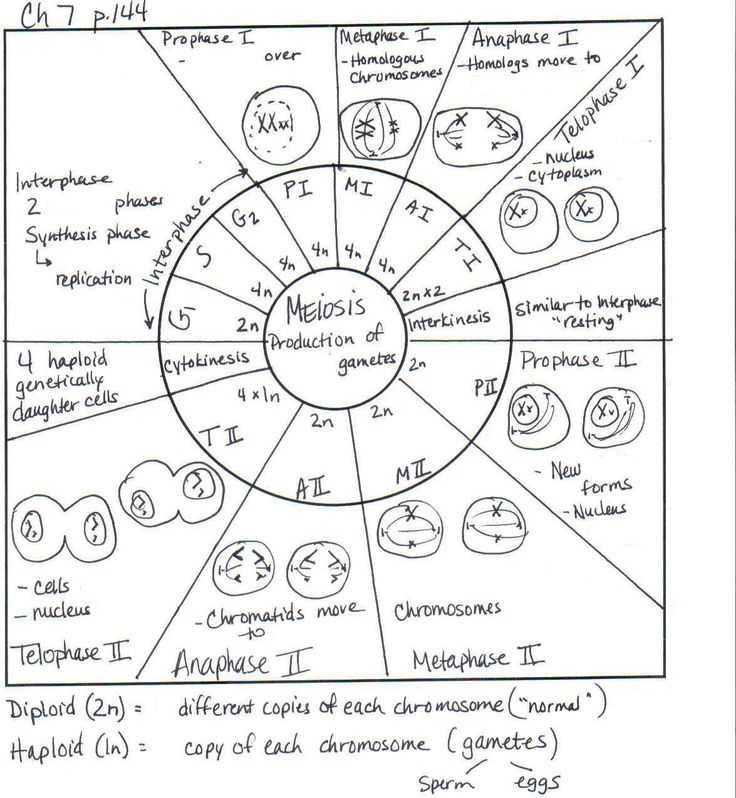 Cell Cycle Practice Worksheet with 370 Best Science Cells & Biology Images On Pinterest