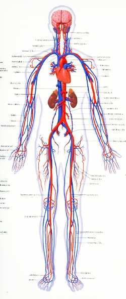 Chapter 11 the Cardiovascular System Worksheet Answer Key as Well as Schurz High School