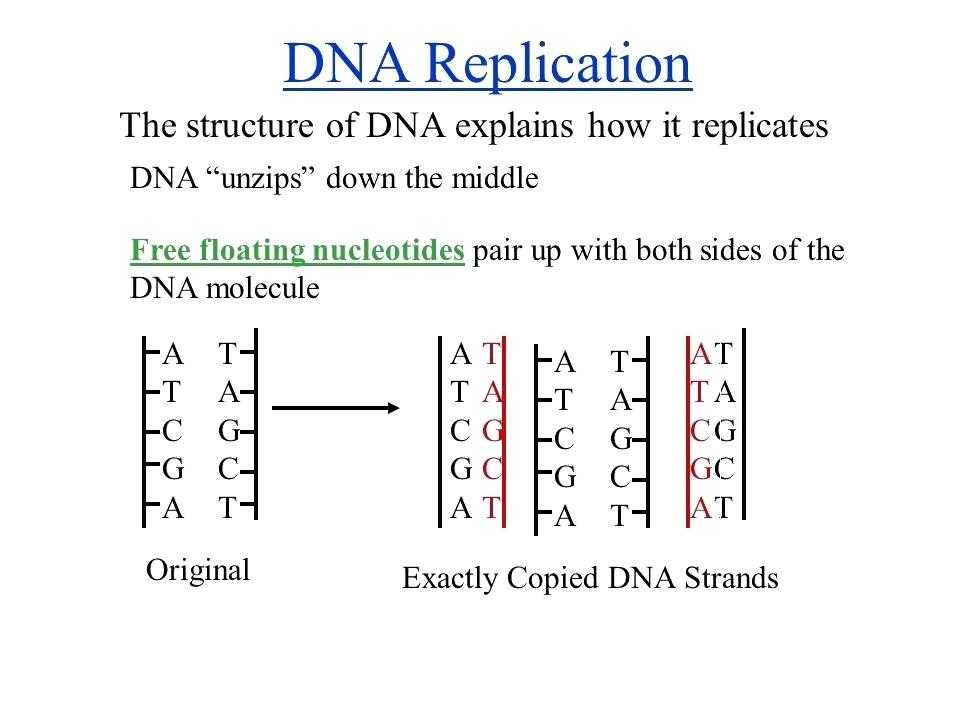 Dna Replication Worksheet Key or Best Dna the Molecule Heredity Worksheet Luxury Dna Structure