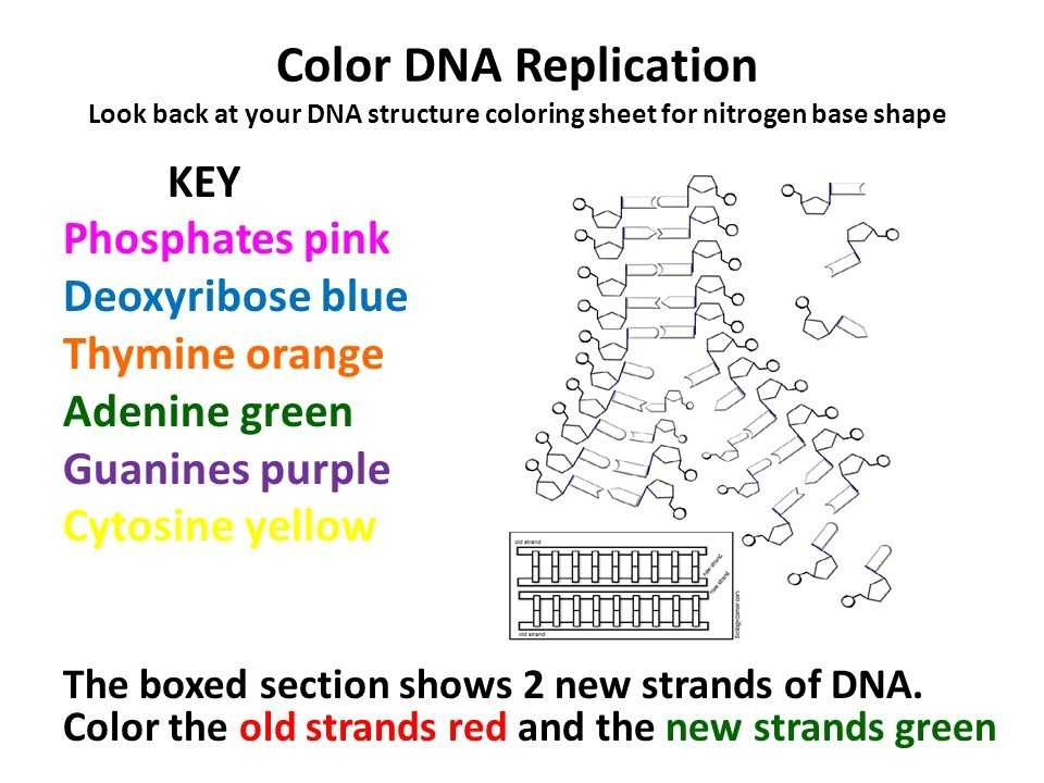 Dna Structure and Replication Worksheet Answers and Lovely Dna Replication Worksheet Answers Beautiful Dna