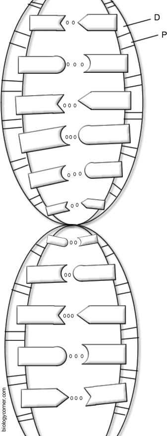 Dna the Double Helix Coloring Worksheet Answers or 71 Best Dna and Protein Synthesis Images On Pinterest