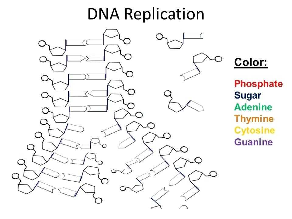 Dna the Double Helix Worksheet or Dna Replication Worksheet the Best Worksheets Image Collection