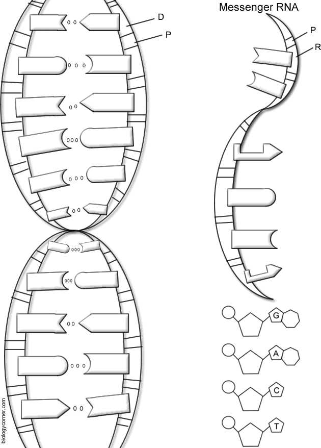 Dna the Double Helix Worksheet with Dna Structure Worksheet Payasufo