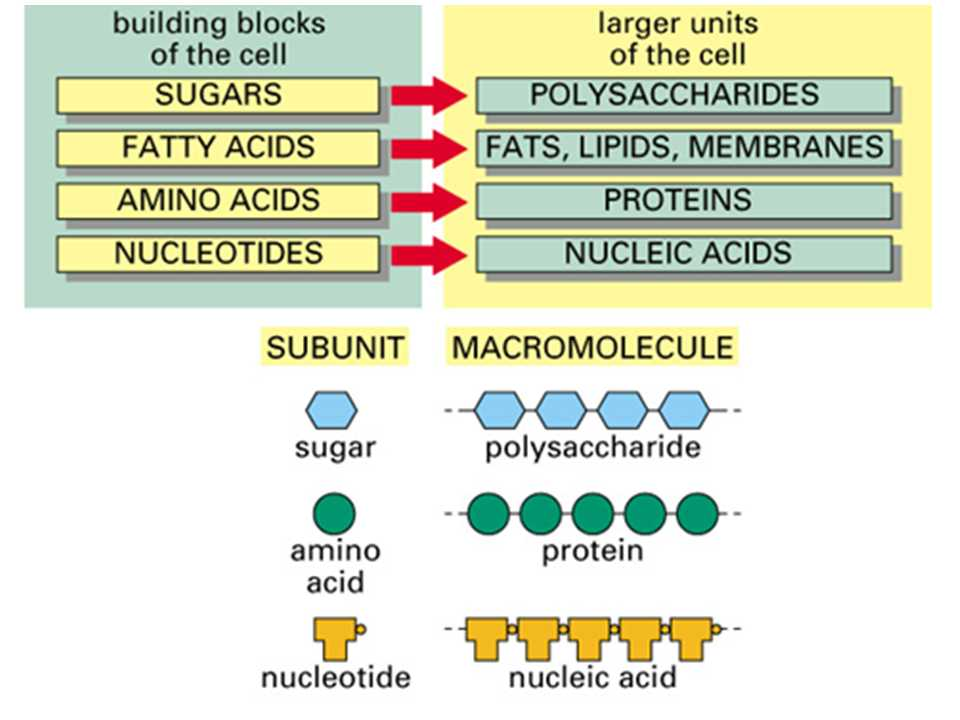 Enzyme Worksheet Biology Also Simple Diagram On Macromolecules Proteins Carbohydrates Lipids