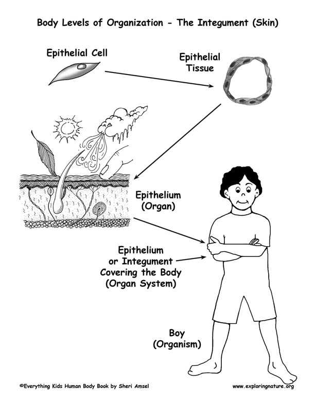 "Epithelial Tissue Coloring Worksheet and Levels Of organization In the Body Cells to organisms"" Exploring"