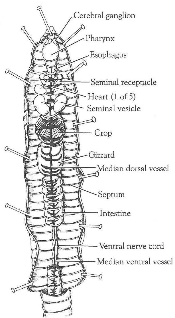 Fetal Pig Dissection Pre Lab Worksheet Answers and 34 Best Dissections Images On Pinterest