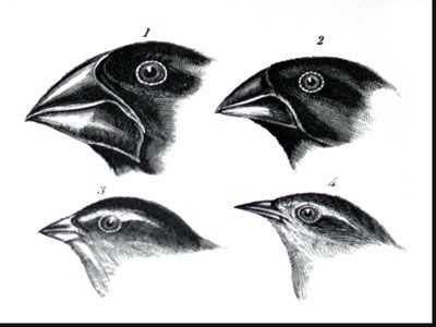Galapagos island Finches Worksheet as Well as 129 Best Darwin S Cabinet Of Curiosities Images On Pinterest