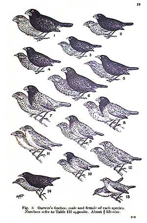 Galapagos island Finches Worksheet together with David Lack and Darwin S Finches