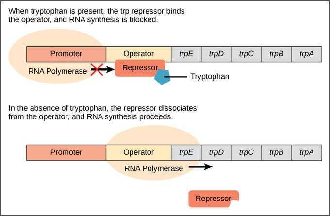 Gene Regulation and Expression Worksheet Answers together with 36 New S Control Gene Expression In Prokaryotes Worksheet