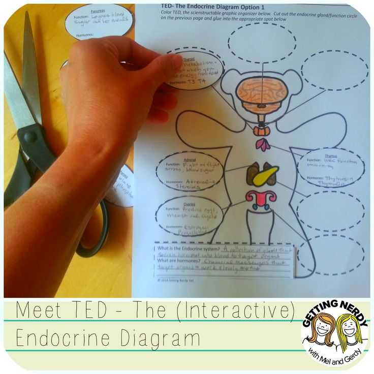 Human Endocrine Hormones Worksheet Along with Endocrine System