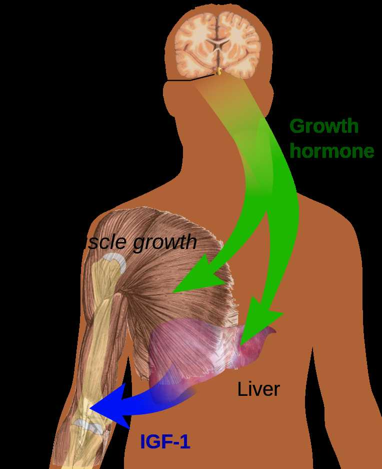 Human Endocrine Hormones Worksheet Key and Human Growth Hormone Hgh is A Vital Ponent Of the Human