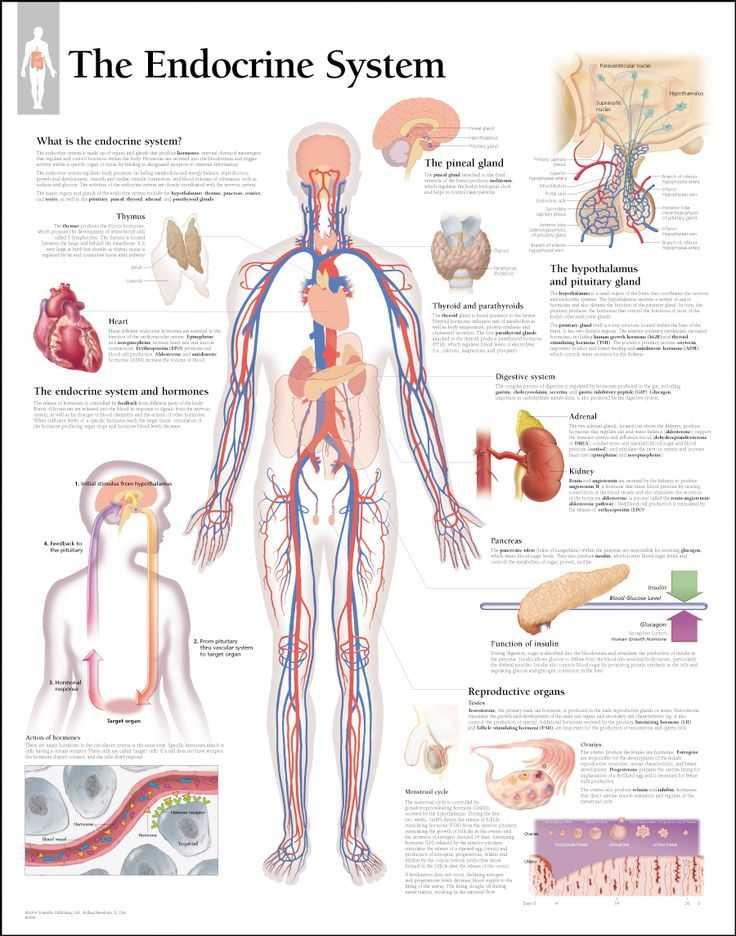 Human Endocrine Hormones Worksheet Key as Well as atemberaubend Human Anatomy Made Amazingly Easy Pdf Download Fotos