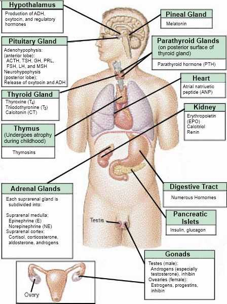 Human Endocrine Hormones Worksheet or 62 Best A & P Chapter 9 Endocrine System Images On Pinterest