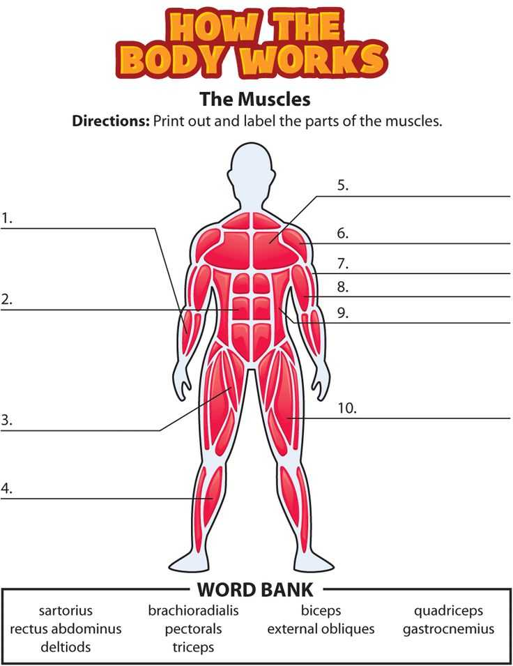 Muscular System Worksheet and 89 Best Worksheets and Quizzes Images On Pinterest