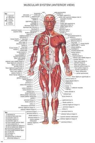Muscular System Worksheet Answers Also Muscular System Medical Educational Poster 24×36 Scientific Body