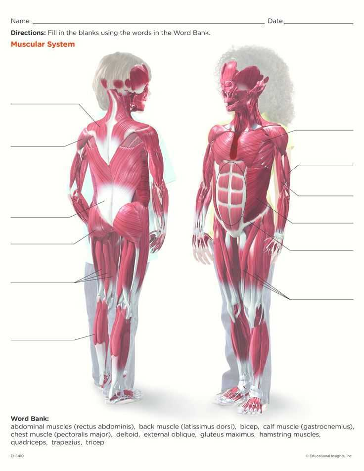 Muscular System Worksheet Answers Also Muscular System Printable for Kids Anatomy Labelled