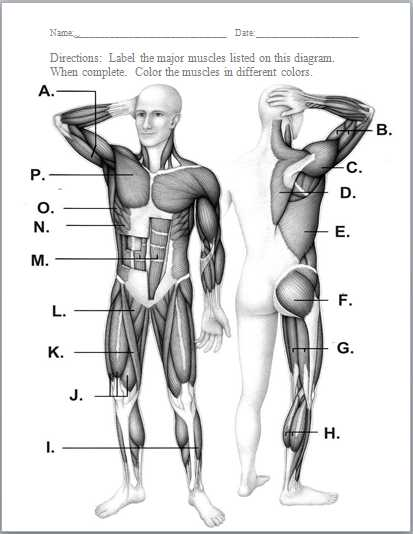 Muscular System Worksheet Answers and Muscular System